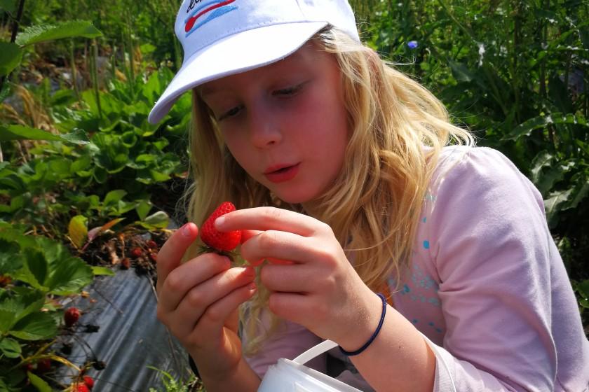 Erdbeerpfücken